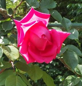 つる マリア カラスはハイブリッドティー系マリア カラスの枝変わりです