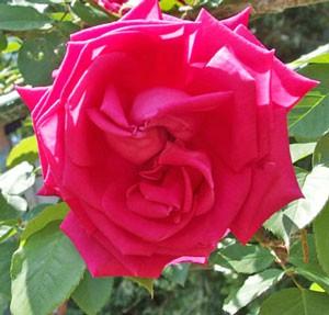 つる マリア カラスはつる性の大輪花です
