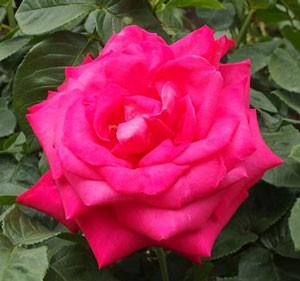 マリア カラスは花もちがよい