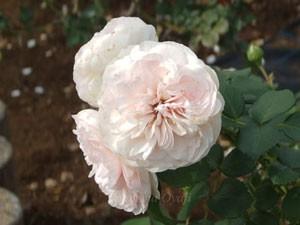 マリアテレジアの花径は10cmで中の大というサイズですね