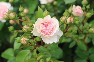 マリアテレジアの花色はピンク色だが弁芯付近はコーラルピンク色