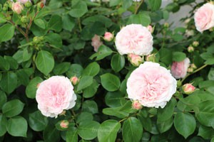 マリアテレジアの花色は柔らかいピンク色です