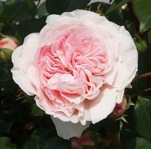 マリアテレジアは中大輪四季咲き品種です