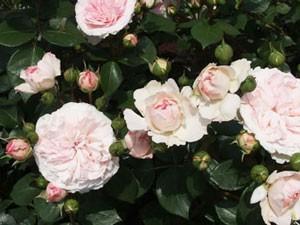 マリアテレジアは3~5凛の房咲きになり花つきがよい