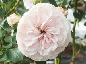 マリアテレジアの花形はクォーター・ロゼット咲きです