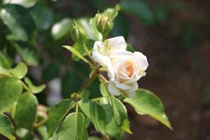 マリー アントワネットオールドローズの影響を残したバラです