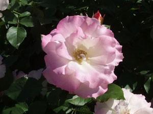 マチルダはフロリバンダ系統のバラ