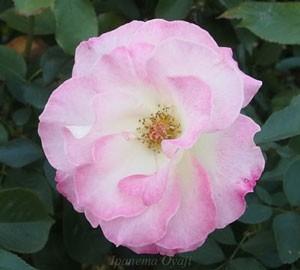 マチルダは中輪サイズで花径は7cm程