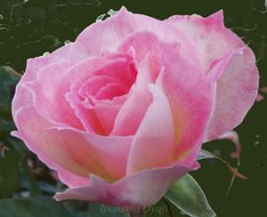 マチルダは花色は春よりも更に秋は濃くなります