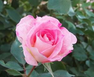 マチルダは満開時になると株全体を覆う程多くの花を咲かせます