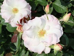 マチルダは穏やかな色合いのバラですね