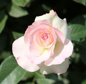 落ち着いたピンク色の生地に軽くローズ色の覆輪が入ります
