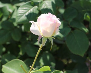 マチルダは花枝が長く切り花にも適します