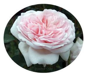 メイのほほえみはライトピンク色の中輪花