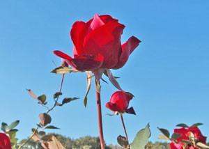 花枝が長く生け花にも向いています