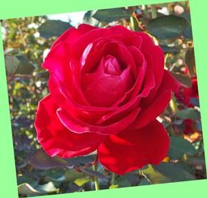 結構この花は赤色が濃い目です。カメラアングルのせいかな?