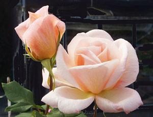 ミシェル メイアンの花色は淡いアプリコット色