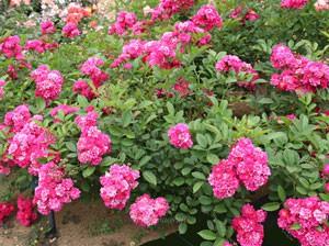ミニオネットの花姿は少しツツジの花に似ている