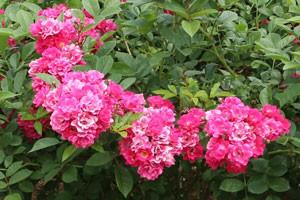 花弁は半二重から二重咲き