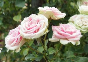 つる ミミ エデンは返り咲き品種です