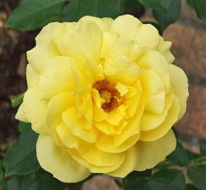 花弁数は25枚から30枚