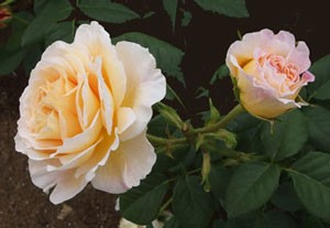 ベージュ色で可憐な花姿です