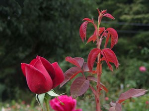 ミランディの新芽の葉は赤味がかっている