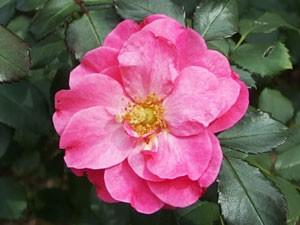 ミラトは濃いピンク色の中輪サイズの花径です