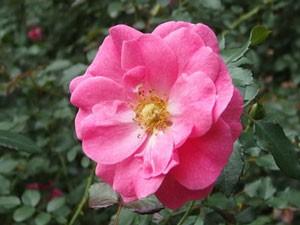 ミラトは花つき、花もちのよい品種です