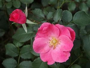 ミラトの花形はサクラの花に似ていますネ