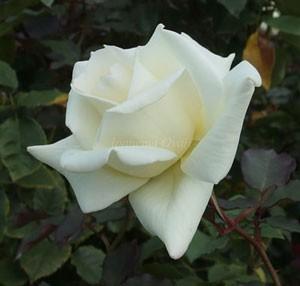 マダム サチは半権弁高芯咲きの華形です