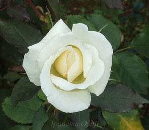 マダム サチはハイブリッドティー系統のバラ