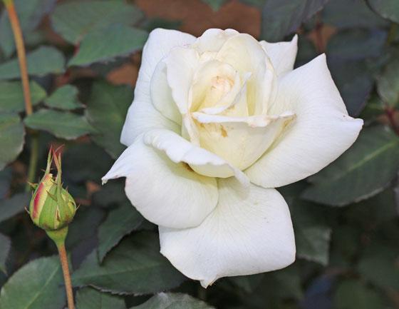マダム サチは中輪四季咲き品種です