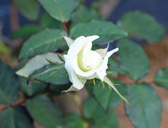 マダム サチの花色はオフホワイトで薄く緑色ががっている