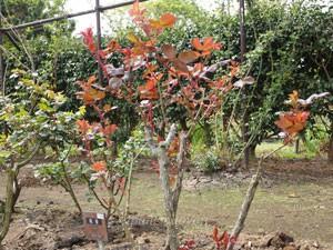 早春の芽出しをする桃香