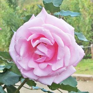 桃香は半剣弁高芯咲きでピンク色のバラ