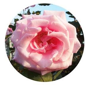 桃香は花弁が少し薄いが花もちはよい