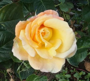 モナリザは四季咲き性です