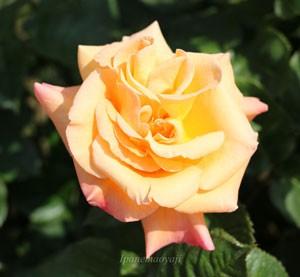 バラ モナリザはピンク色の覆輪