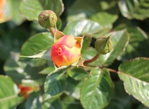 バラ モナリザがツボミの時期はオレンジ色です