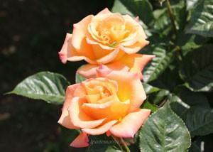 モナリザは2~3輪の房咲きになる