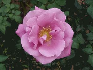 ムーンシャドウは大輪だが12cm程でやや小さい花弁
