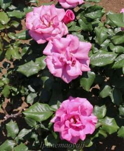 ムーンシャドウ 連なって咲く姿が美しい