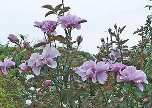 紫の園は数輪の房咲きになり花つきがよい