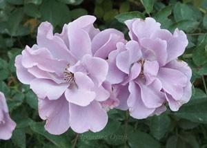 紫の園は半八重咲き