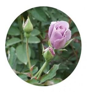 紫の園はフロリバンダ系統