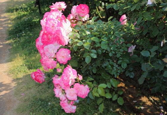 二コルは四季咲きです