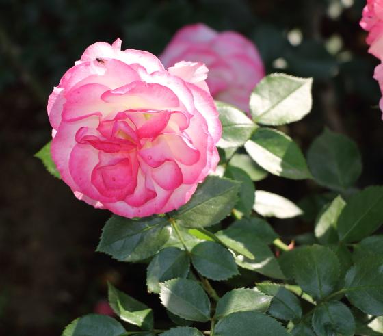 二コルはフロリバンダ系統のバラ