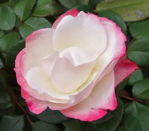 ノスタルジーは花径が12cm程の大輪サイズ