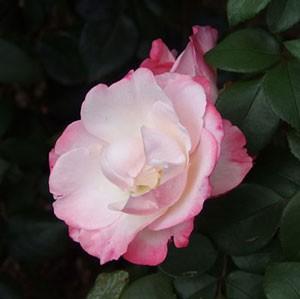 ノスタルジーは抱え咲きから丸弁平咲きへ変わります